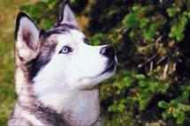 husky CloseUp