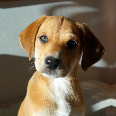 Small-Brown-Puppy