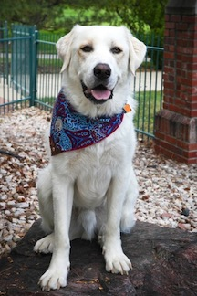 Adoptable_Great_Pyrenees