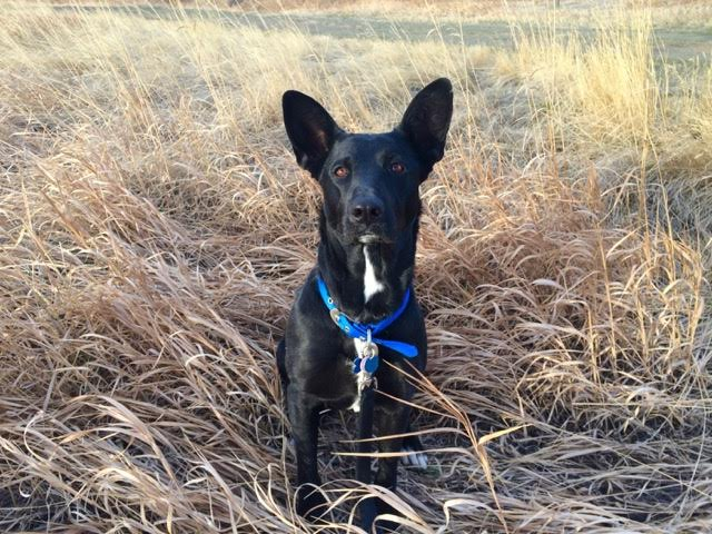 Adoptable_Black_Heeler_Shepherd