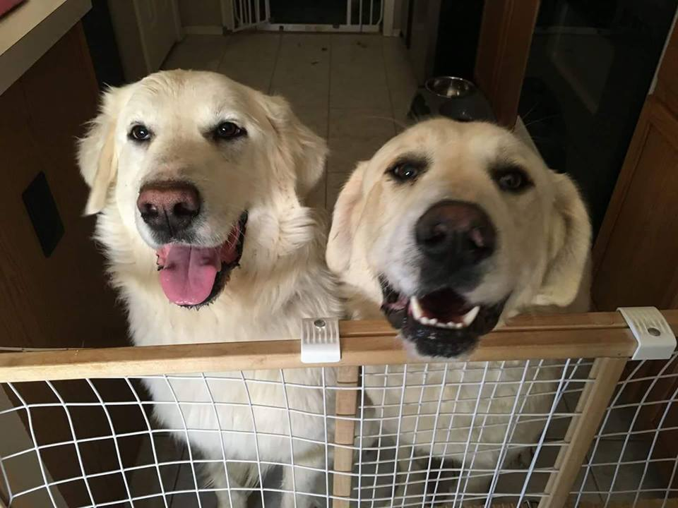 Adoptable_Great Pyrenees_Brothers