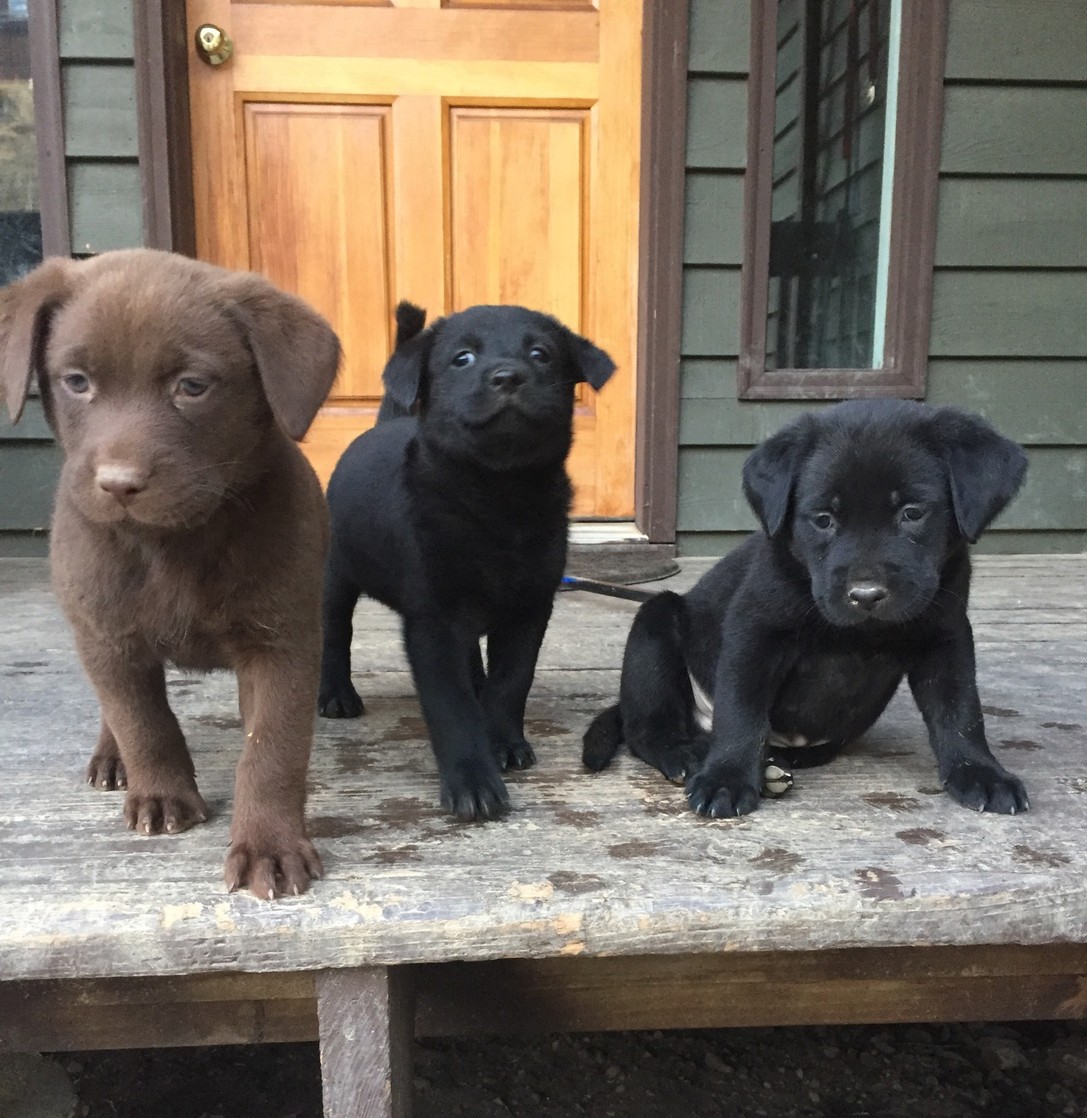 Adoptable_Puppies_Flat_Coated_Retriever_Mix