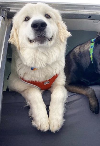 Adoptable_Great_Pyrenees_mix