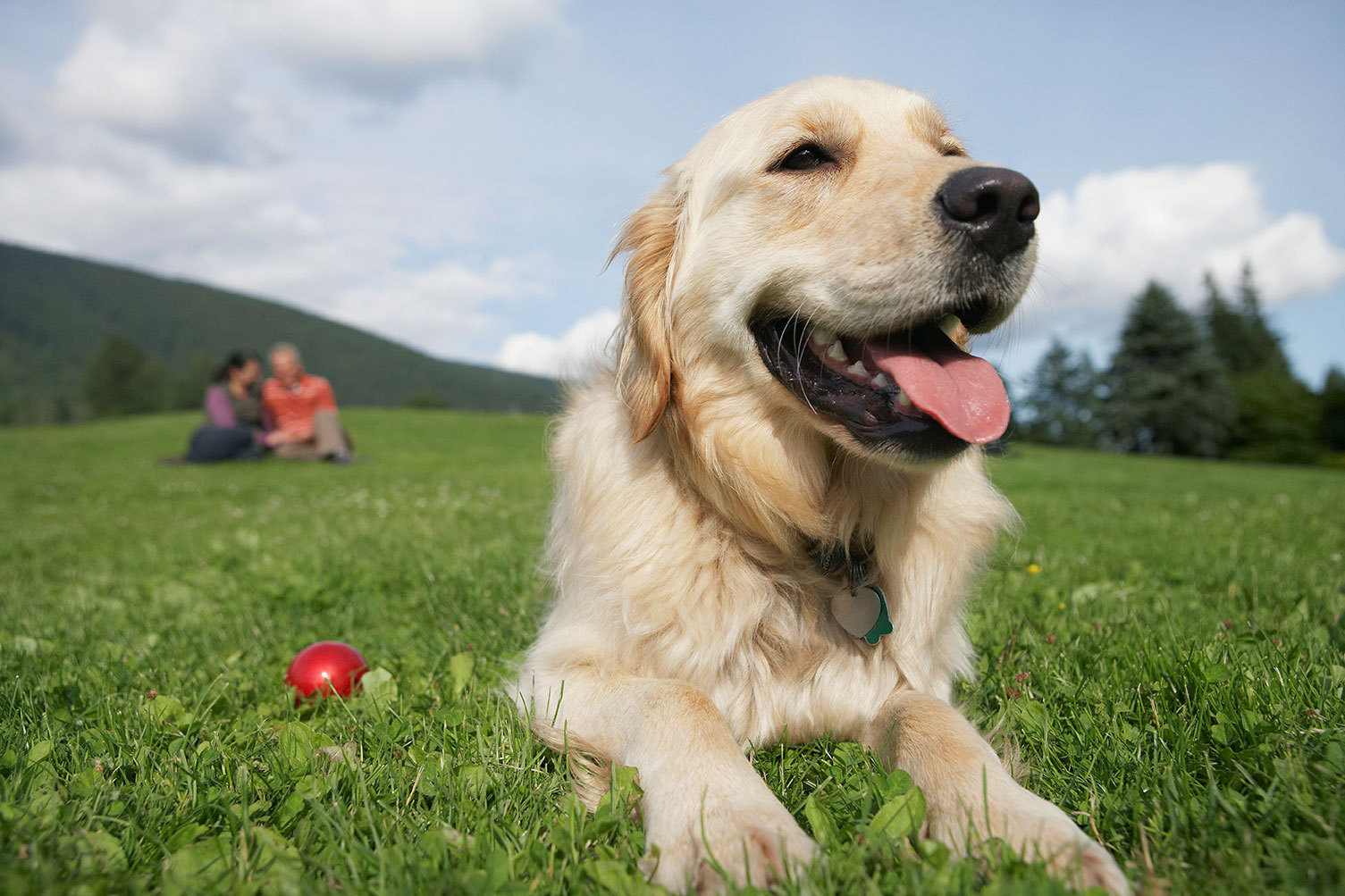 Happy-Mountain-Golden-Retriever