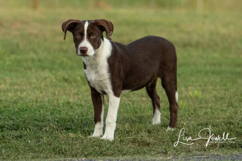 Adoptable_Aussie_Lab_mix_puppy